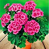 Fash Lady 100 pz/borsa Geranio Piante Perenne Fiore Plantas Pelargonium Peltatum Fiori in vaso geranio pianta bonsai Giardino: 20