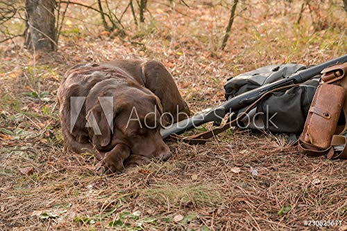 druck-shop24 Wunschmotiv: Labrador Dog Sleeping Near Hunter Shotgun,Cartridge Belt and Backpack in The Autumn Forest #230825677 - Bild auf Forex-Platte - 3:2-60 x 40 cm / 40 x 60 cm -