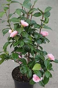 "Plantes de jardin - Camelia japonica ""Bonomiana Nova"" - GRANDES PLANTES bourgeonnantes"