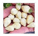 Weiße Monatserdbeere Weiße Seele - Erdbeere - 50 Samen