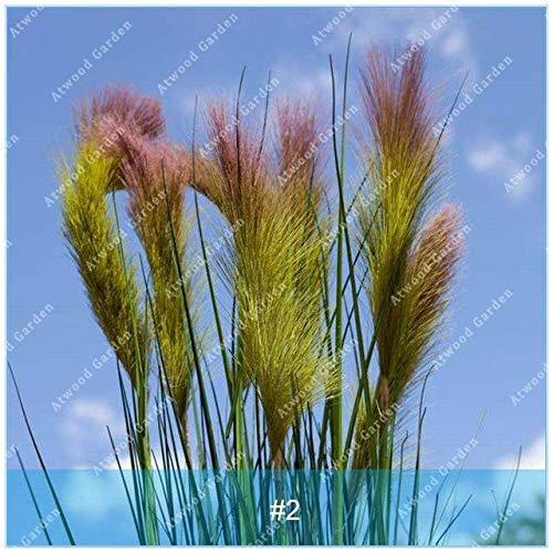 Shopmeeko SEEDS: ZLKING 100PCS Pennisetum Gras Bonsaipflanzen für Hausgarten-Naturrasenteppich schnell wachsende Pflanze: 2 -