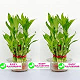 #5: Easy Gardening 2 Layer Lucky Bamboo Plant With Glass Bowl (Pack Of 2)