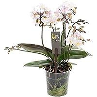 FloraStore - Phalaenopsis 4 Zweig Willd weiß rosa (1x), Höhe 45 CM, Topf 12 CM, Zimmerpflanze