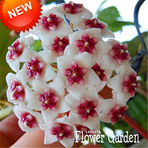 Big Hoya semi, fiori in vaso bonsai piante Hoya Seed, Orchid Seed giardino domestico di DIY 100 particelle / Pack, # 15 4FNNI6