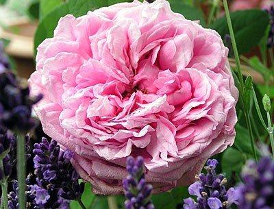 """Portlandrose """"Comte de Chambord"""" von Agel Rosen bei Du und dein Garten"""