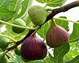 #8: Plant House Live Anjeer-Common Fig Fruit Plant (with pot) - Healthy Live Plant