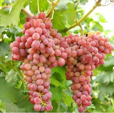 50 pcs / lot de raisin rouge doux Graines avancée Fruit graines croissance naturelle de raisin délicieux fruits jardinage plantes 1