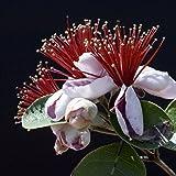Ananasguave - Feijoa sellowiana - Samen