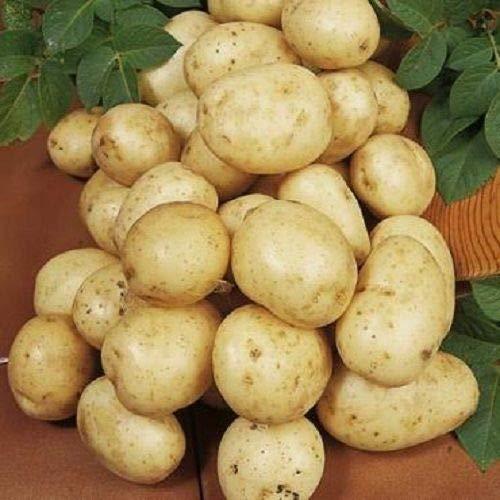 Preisvergleich Produktbild Portal Cool 10: Navan Saatkartoffeln - Certified Irish Seed (Klasse E) Maincrop