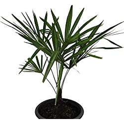 Winterharte Hanfpalme (Trachycarpus fortunei) 20 Samen ***Bis -20 Crad Frosthart***