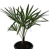 30 Samen Hanfpalme -Trachycarpus fortunei- ***Bis -20 Crad Frosthart***