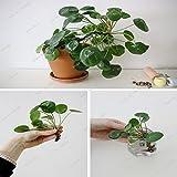 100 Stück Chinesischer Geld-Baum-Samen-hängende Wasser-Gras-Samen Schöner Wasserfall Pflanze Bonsai Zimmerpflanze DIY Hausgarten-Dekoration