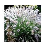 20x Australisches Lampenputzergras Pennisetum alopecuroides Samen #403