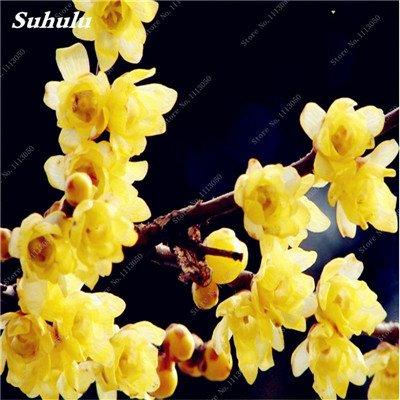 10 Pcs Plum Graines de fleurs, hiver Blooming Fragrant Arbuste Fleur froide Hardy plante, pot intérieur / extérieur Graine Famille Facile à planter 1