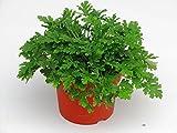 Pelargonium 'Lemon Fresh'- Duftgeranie Zitronengeranie - 'Mosquito Fighter' im 12 cm Topf
