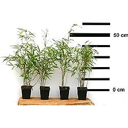 8 Stk. Bambus Fargesia rufa winterhart, immergrün und schnell-wachsend, 30/40 cm hoch, im Topf (8)
