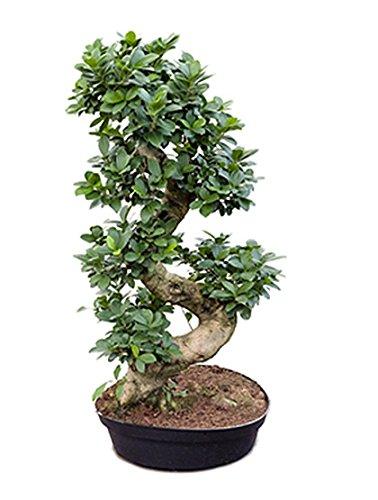 Ginseng Bonsai tropische Zimmerpflanze für Halbschatten Ficus microcarpa compacta 1 Pflanze 80-105 cm im 35 cm Topf von Redwood