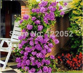 Rosa, piante rampicanti, polyantha rosa, semi di fiori cinesi, rose rampicanti semi, 200 pc / sacchetto