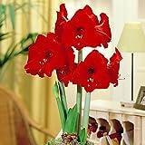 Hippeastrum Amaryllis Red Lion - 1 bulbe de fleur