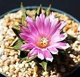 Farmerly Ariocarpus trigonus Esotico Fiore di cactus colori Aztekium Rare Cactus Seed 10 Semi