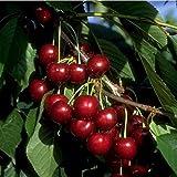 Kirsche Busch-Baum Lapins süß 120-150 cm rotes Obst Gartenpflanze 1 Pflanze