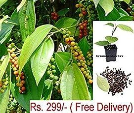 Vamsha Nature Care Live Black Pepper Plant Healthy Black Pepper Spice Plant