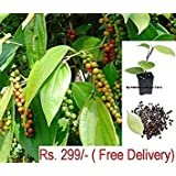 Vamsha Nature Care Live Healthy Black Pepper Spice Plant