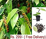 #4: Vamsha Nature Care Live Black Pepper Plant Healthy Black Pepper Spice Plant