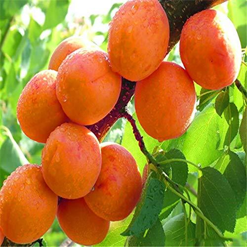 Casavidas 2 Stück große Frucht Aprikosenbaum DIY Gärten Obst Topfpflanzen, Gartenbedarf, Bonsai, nach Hause