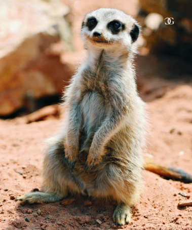 MOUSE MAT 1337 OFFICIALLY LICENSED COLIN GREEN PHOTOGRAPHY CUTE MEERKAT MEER KAT FAMILY PHOTO QUALITY FUN MOUSE MAT