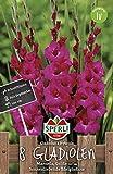 Blumenzwiebeln - Gladiole Manuela von Sperli-Samen