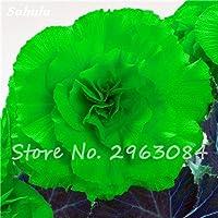 Semillas Semillas envío gratuito Begonia 100 piezas raras Híbrida Voss linternas de flores Begonia chinos decorativos Bonsai Garden Flowers 24