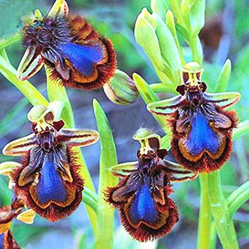 Kimilike Cymbidium Samen, 100 StüCke Orchidee Samen Cymbidium Bonsai Seltene Blume Pflanze Garten Balkon Decor, Orchidee Freundliche Blumensamen, Orchidee Samen Eine Und MehrjäHrige