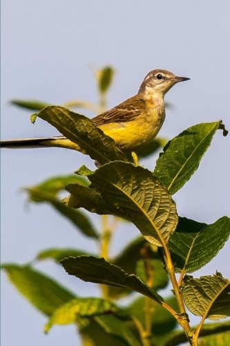 yellow-wagtail-stilt-songbird-nature-journal-150-page-lined-notebook-diary