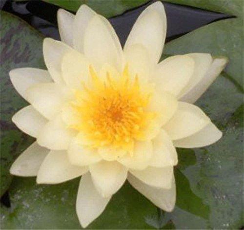 weiße Seerose - Nymphaea
