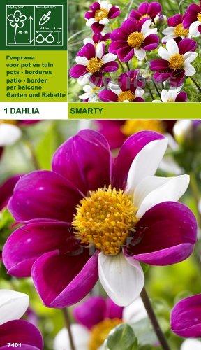 ausverkauf-topmix-dahlie-smarty-
