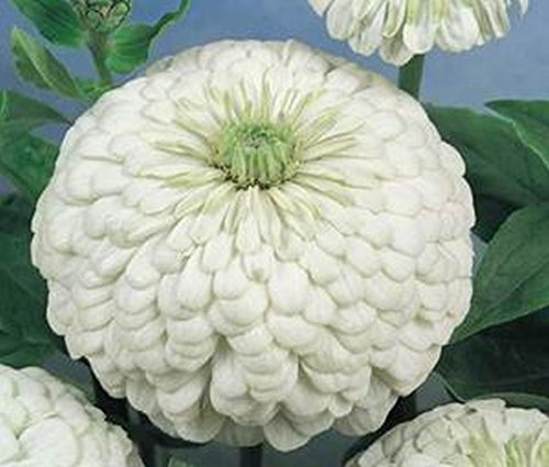 Go Garden 10 - Graines: 'ours polaire' Zinnia - blanc Dahlia-Type Zinnia avec des fleurs très grandes! Wow Look