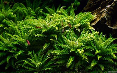 Pogostemon Helferi - 1 Bunch - Live Plante pour aquarium