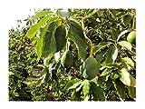 Avocado Persea americana gratissima Pflanze 30cm Butterfrucht Hass Rarität