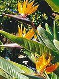 Tropica - Fiore uccello del paradiso (reginae) (Strelitzia reginae) - 5 Semi