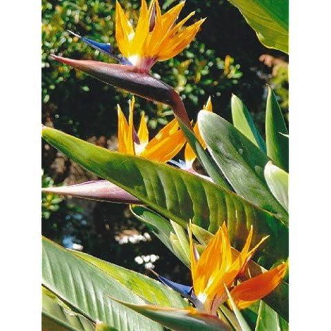 Tropica - Fiore uccello del paradiso (reginae)