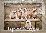 Englische Bulldoggen (Wandkalender 2018 DIN A3 quer): Schnuten zum verlieben - Englische Bulldoggen (Monatskalender, 14 Seiten ) (CALVENDO Tiere)