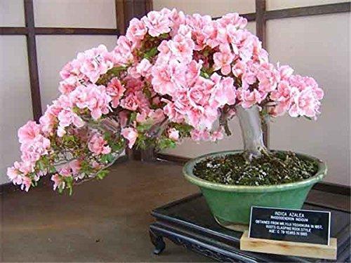 Livraison gratuite 10 pcs / sac rares Bonsai 17 variétés Sakura Graines Bricolage & Jardin Plantes japonais Graines de Cherry Blooms 8
