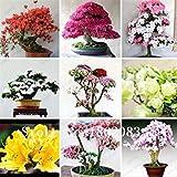 GEOPONICS Semillas de Japanee 100pc / lot cereza floración de semillas Semillas de akura, cereza Co