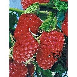 Himbeere - Rubus idaeus - Rumiloba - süße Sommerhimbeere, ertragreich