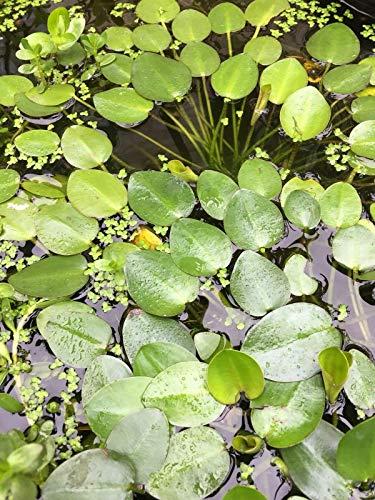 PLAT FIRM GERMINATIONSAMEN: 2 LIVE-Teich-Wasser-Garten-Anlagen - Bio-Wasser Poppy Pflanzen