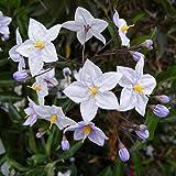Solanum jasminoides 'Bleu' - Morelle faux-jasmin grimpante