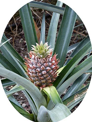 Ananas comosus Pflanze 20cm mit Frucht echte Ananaspflanze essbare süße Früchte