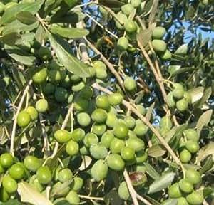 Vivai Gardenhome - Olivo Leccio del Corno