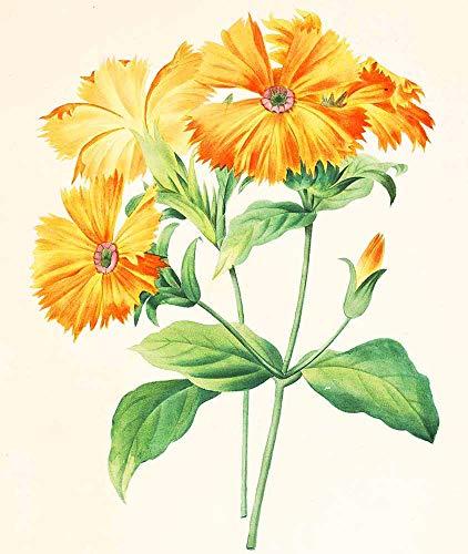 JH Lacrocon Pierre-Joseph Redoute - Lychnis Grandiflora Leinwandbilder Reproduktionen Gerollte 40X50 cm - Blume Gemälde Gedruckt Wandkunst